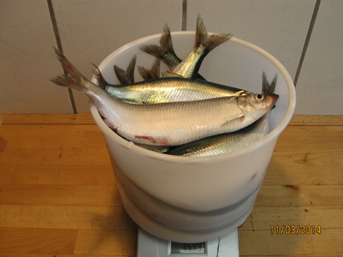 A 6-liter bucket with 20 harvest herring